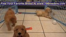 Bichon Frise, Puppies, For, Sale, in, Birmingham, Alabama