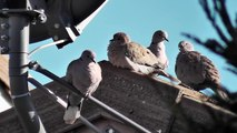 HD Cute sleepy pigeons doves flock sun bathing white birds peaceful fluffy 12 13 2012