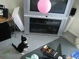 Kittens playing with a Balloon