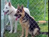 "Royalair German Shepherds ""Large old-fashioned German S,hepherds"""