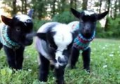 Newborn Goat Triplets Are Cozy in Their Sweaters