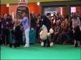 Standard Poodles at Crufts 2009