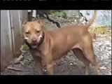 "Documental American Pit Bull Terrier ""Sporting Dogs"" (game dogs -perros de pelea) pitbull apbt."