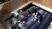 Australian Shepherd Puppies at 5 weeks old