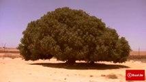 The Living Sahabi Tree  Short Documentary