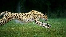 Guepardo a cámara lenta (Slow Motion 1080p) - Cheetahs on the Edge