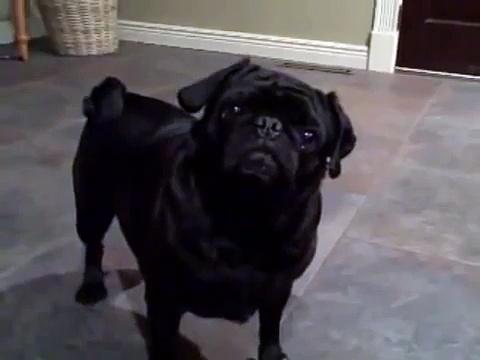 Kenna My Black Pug.
