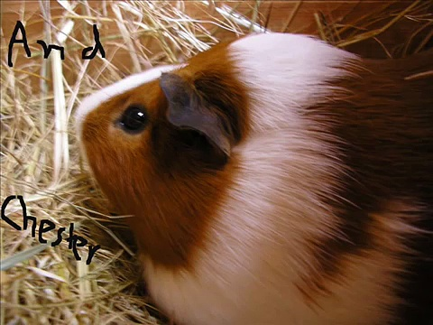 Racing Guinea Pigs