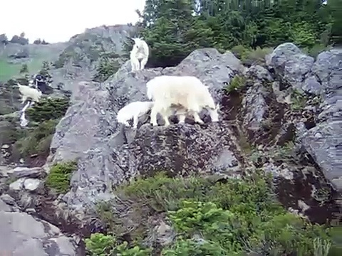 Mt Ellinor Mountain Goats