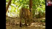 Crazy Monkey Disturbing Big cats - Gibbon taunts tiger cubs Funny Animals Video