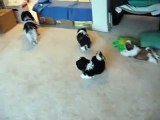 Shih Tzu puppies  No more milk guys family Don't you bark at my babies!