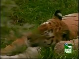 Tigers actually fight to death more than Lions do. Central Indian tigers 25% die over females.