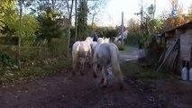 Emile et ses chevaux boulonnais