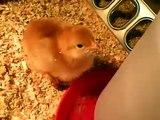 Baby Chicks 1 week old