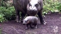 Les premières brasses d'Obi l'hippopotame nain