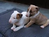 Bull Terrier filhotes a venda - Puppies for sale - Filhotes On Line BH