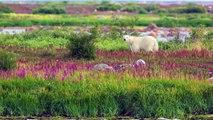 Wildlife Photography Workshops / Wildlife Photography Tours - Polar Bears in Canada