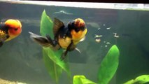 Nourrir des poissons rouges oranda en aquarium
