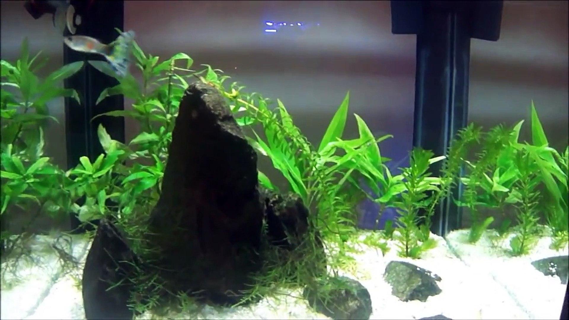 Aquarismo Pzu - Aquário de Guppy - Guppy Aquarium