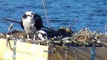Feeding the Osprey Chicks