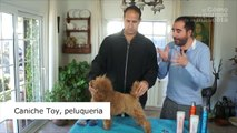 PERROS - Peluquería canina. Cómo peinar a un perro Caniche Toy. Qué cuidados necesita.