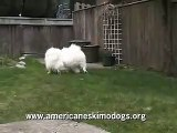 Funny American Eskimo Dogs