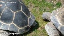 La Testuggine Gigante di Aldabra | Bioparco Zoom Torino
