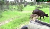 Lion Vs Buffalo: Lions Attempt To Attack Buffalo Backfires,5 lion vs 1 buffalo 2014