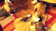 Pit Bull Attacks Basset Hound and Basset Hound Retaliates