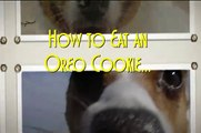 Cute Dog Trick Jack Russell Terrier Eat's an Oreo Cookie 面白い犬