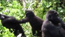 Mountain Gorilla Uganda Oeganda (DUTCH Voice over)