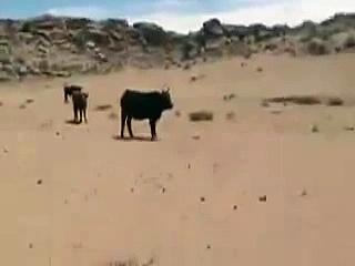 Gobi Mongolia Cows cattle