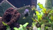 melanochromis auratus cichlidés fish poisson du lac malawi (HD sony ericsson vivaz).MP4