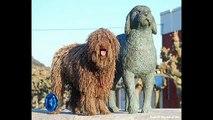 Vida de Perros: Perro de Agua Español 1/2- Expo POA