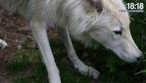 Alpes : le loup fait peur et divise