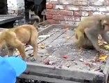 Monkey vs Dog                               Monkey throws dog down