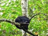 2012 Ecuador   Puyo, Rescate Los Monos, Singe Araignée, Arana, Spider  Monkey