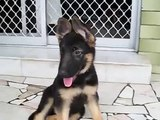 Top Quality German Shepherd Baby Pet Dog For Sale In England 2014