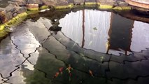 KOI WINTER BELOW ZERO, Koi Whisperer Keeps Koi Safe