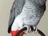 Coco gris du Gabon qui fait son malin, très drôle !
