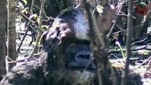 Bigfoot or Skunk Ape spotted in Tampa Florida bathing in swamp