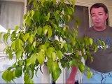 An Indoor Bonsai -- Ficus Bonsai Tree