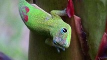 GECKO - Gold Dust Day Gecko/Madagascar Gecko