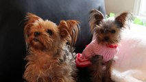 Doggy Online Dating:  Cute Talking Dogs