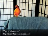 Funny Parrot Dancing - Sun Conure Tricks (Turn Around)