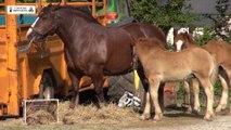 Concours du cheval breton à Ploudaniel, le samedi 13 juin 2015