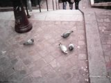 Délire pigeons