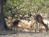 Impala Birth Ruaha National Park Tanzania - First steps September 09
