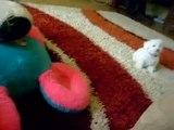 Bichon Maltese puppy - Sofy