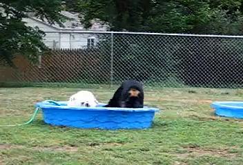 Rottweiler & Bulldog Attack